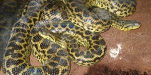 SERPIENTES MÁS GRANDES » Boidae y Pythonidae